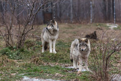 Pair of timber wolf Royalty Free Stock Images