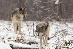 Pair of timber wolves in a winter environment Royalty Free Stock Image