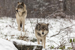 Pair of timber wolves in a winter environment Stock Photo