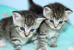 Pair of Tiny Striped Kittens. Two tiny tiger striped kittens look forward with beautiful blue eyes. Soft light blue background surrounds them stock image