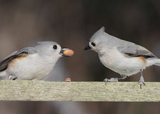 Pair Of Titmice With A Peanut Stock Image
