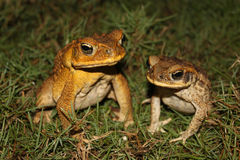 A pair of toads in the grass Stock Images