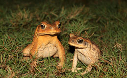 A pair of toads in the grass Royalty Free Stock Photography