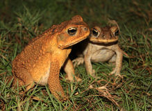 A pair of toads in the grass Royalty Free Stock Photo