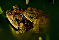 Pair of toads in indonesia Stock Photos