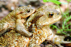 Pair of toads Royalty Free Stock Images