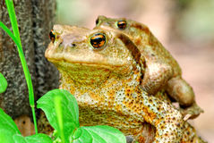 Pair of toads Stock Image