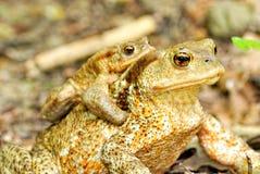 Pair of toads Stock Photos