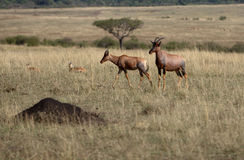Pair of Topi. Male and female Topi in the Masai Mara Stock Images