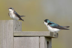 Pair of Tree Swallows Stock Photos