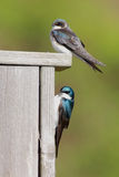 Pair of Tree Swallows on a bird house Stock Photo