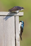 Pair of Tree Swallows on a bird house Stock Photos
