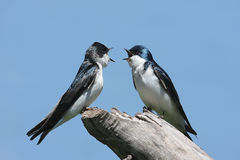 Pair of Tree Swallows on a stump Stock Photography