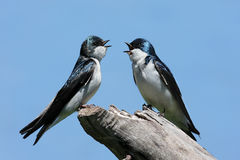 Pair of Tree Swallows on a stump Royalty Free Stock Photo