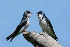 Pair of Tree Swallows on a stump Royalty Free Stock Photo