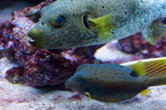 A pair of tropical fish. A pair of tropical fish in an aquarium Royalty Free Stock Photo