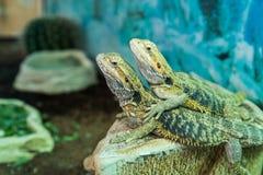 Pair of tropical lizards Stock Photos