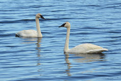 A Pair of Trumpeter Swan (Cygnus buccinator) Royalty Free Stock Photos