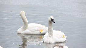 Pair of Trumpeter Swan, Cygnus buccinator stock footage