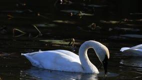 Pair of Trumpeter Swan, Cygnus buccinator, feeding stock footage