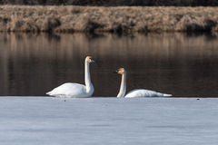 Pair of Trumpeter Swan on the Ice. Two trumpeter swans sit on the edge of the ice Royalty Free Stock Image