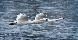 Pair of Trumpeter Swans Fly Over River Stock Photography