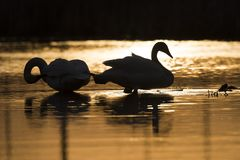 A pair of Trumpeter Swans at sunset. A pair of Trumpeter Swans in late evening on a Minnesota Wetland Royalty Free Stock Photo