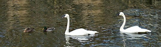 Two swans and two mallards swimming together royalty free stock photo