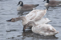 Pair of Trumpeter Swans Preening & Water Dro Stock Image