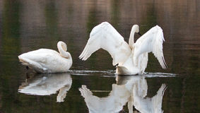 Pair of Trumpeter Swans reflecting while spreading their wings in the Yellowstone River Royalty Free Stock Photos