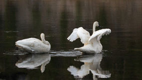 Pair of Trumpeter Swans reflecting while spreading their wings in the Yellowstone River in Yellowstone National Park in Wyoming Stock Photos