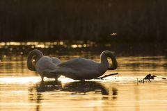 A pair of Trumpeter Swans at sunset. A pair of Trumpeter Swans in late evening on a Minnesota Wetland Royalty Free Stock Images