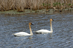 Pair of Trumpeter Swans Stock Image