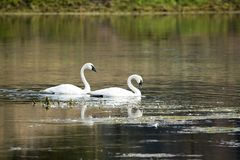 A Pair of Trumpeter Swans. In the Yellowstone River at Yellowstone National Park royalty free stock images