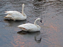 Pair of Trumpeter Swans in the Yellowstone River in Yellowstone National Park in Wyoming Royalty Free Stock Photo