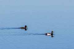 Pair of Tufted Duck. Swimming in the lake at spring Royalty Free Stock Images