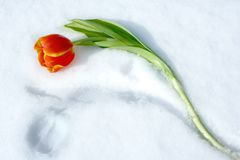 Pair Of Tulips. Scarlet tulip and his imprint on to snow Royalty Free Stock Image