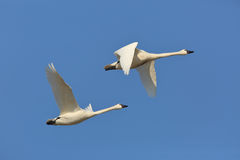 Pair of Tundra Swans in Flight Royalty Free Stock Image