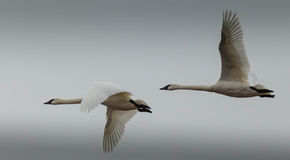 Pair of Tundra swans in-flight Royalty Free Stock Image