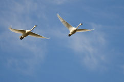 Pair of Tundra Swans Flying in a Blue Sky Royalty Free Stock Photos
