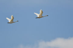 Pair of Tundra Swans Flying High Above the Clouds Stock Photo