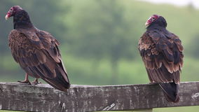 Pair of Turkey Vulture, Cathartes aura stock video