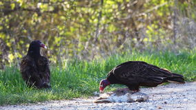 Pair of Turkey Vulture, Cathartes aura, feeding. A Pair of Turkey Vulture, Cathartes aura, feeding stock video