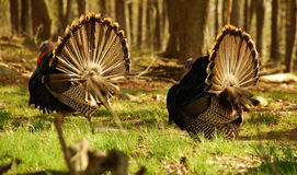 Pair of Turkeys. View from behind of turkeys with fanned out tails Royalty Free Stock Photo
