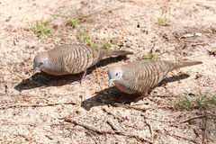 A pair of turtle doves looking for food Royalty Free Stock Photos