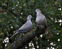 A pair of turtledoves garden stock photo