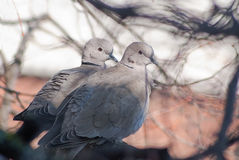 A pair of turtledoves sitting on a tree stock photography