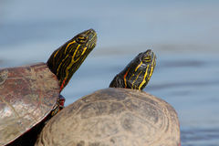 Pair of Turtles. Two Painted Turtles basking side by side on a log stock image