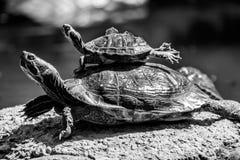 A pair of turtles sunbathing royalty free stock image