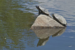 A Pair of Turtles Sunning Themselves on a Hot Summer Day. Two water turtles sunbathing in the hot summer sun Stock Image